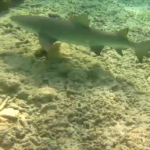 Reef shark III