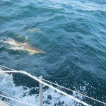 Dolphins in the Bay of Biscay 002